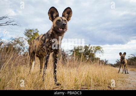 African wild dog (Lycaon pictus) standing in the grass, taken with remote camera. Hwange National Park, Zimbabwe. July - Stock Photo