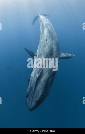 Pygmy blue whale (Balaenoptera musculus brevicauda) diving with pelagic fish (likely yellowfin tuna or similar open ocean predatory species) visible in the background, Sri Lanka, Indian Ocean. - Stock Photo