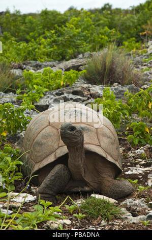 Aldabra Giant Tortoise (Aldabrachelys gigantea) in rocky habitat with head raised, Grand Terre, Natural World Heritage Site, Aldabra - Stock Photo