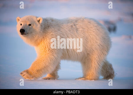 Young Polar bear (Ursus maritimus) walking on newly formed pack ice, near Kaktovik, Barter Island, North Slope, Alaska, USA, October. Vulnerable species. - Stock Photo