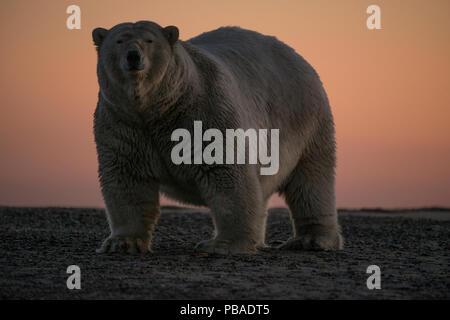 Polar bear (Ursus maritimus) portrait against sky at sunset, Bernard Spit, off the 1002 Area, Arctic National Wildlife Refuge, North Slope, Alaska, USA, September. Vulnerable species. - Stock Photo