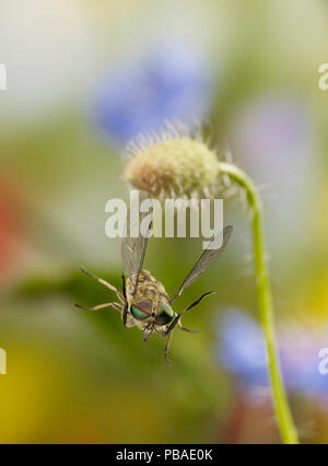 Horse fly (Tabanus sp) male taking off from poppy seed-head (Papaver rhoeas) Sussex, UK - Stock Photo