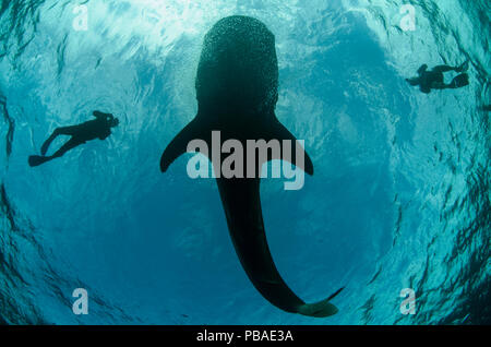 Whale shark (Rhincodon typus) and scuba divers seen from below, Cenderawasih Bay, West Papua. Indonesia. - Stock Photo