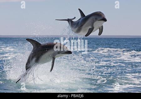 Dusky dolphins (Lagenorhynchus obscurus) porpoising, Puerto Madryn, Peninsula Valdez, Argentina, December.