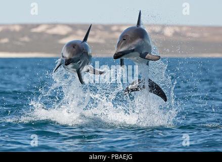 Dusky dolphins (Lagenorhynchus obscurus) porpoising, Puerto Madryn, Peninsula Valdez, Argentina, December. - Stock Photo
