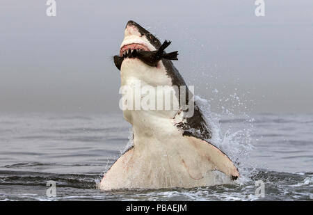 Great white shark (Carcharodon carcharias) leaping out of water to predate seal, Seal Island, False Bay, South Africa, July. - Stock Photo