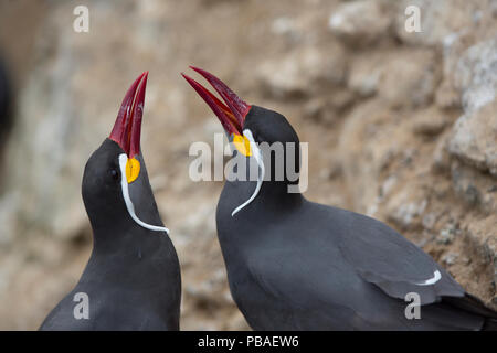 Inca tern (Larosterna inca) male and female in courtship display, guano island, Pescadores, Peru - Stock Photo