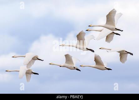 Bewick's swans (Cygnus columbianus) small flock in flight, Gloucestershire, UK February - Stock Photo