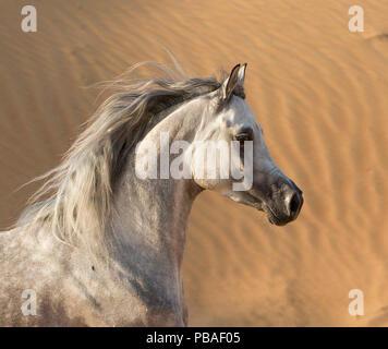 Head portrait of grey Arabian stallion running in desert dunes near Dubai, United Arab Emirates. - Stock Photo