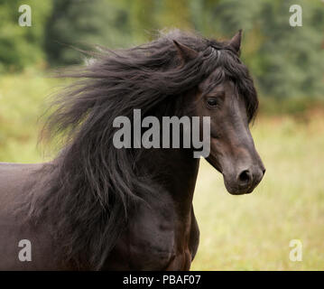 Head portrait of black Merens stallion with long mane running in pasture. Northern France, Europe. February. - Stock Photo