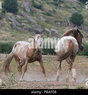 Two formerly wild Mustang stallions posture at Black Hills Wild Horse Sanctuary, South Dakota, USA. September. - Stock Photo