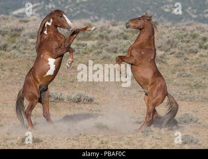 Two wild pinto Mustang stallions battle for dominance in Sand Wash Basin, Colorado, USA. - Stock Photo
