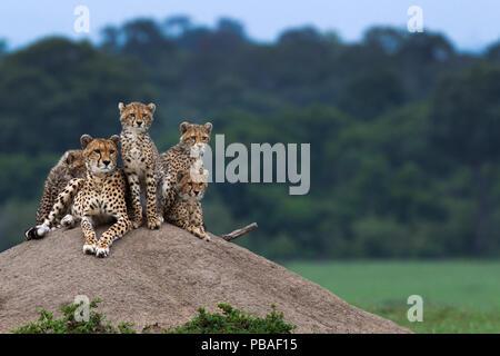 Cheetah (Acinonyx jubatus) female and cubs aged 6-9 months sitting on a termite mound, Maasai Mara National Reserve, Kenya. Stock Photo