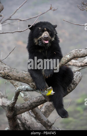 Spectacled bear (Tremarctos ornatus) up tree, Chaparri Ecological Reserve, Peru - Stock Photo