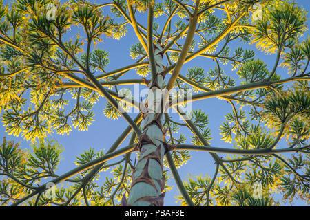 Low angle view of Century Plant (Agave americana). Pasadena, California, USA, July. - Stock Photo