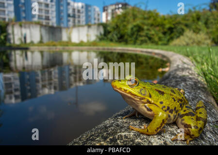 European edible frog (Rana esculenta) in urban park, next to pond with buildings in distance, Grenoble, France, May. - Stock Photo