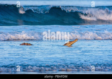 American crocodile (Crocodylus acutus) hunting hatchling Olive Ridley turtles. in the shallows of Nancite Beach, Santa Rosa National Park, Costa Rica. - Stock Photo