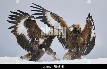 Golden eagles (Aquila chrysaetos) two fighting in snow, Norway November