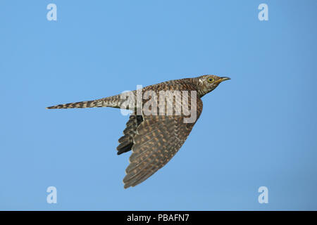 Common cuckoo (Cuculus canorus) in flight, Oman, November - Stock Photo