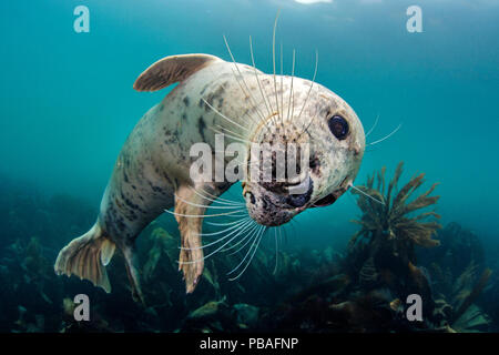 Grey seal (Halichoerus grypus) playful young seal above a kelp forest. Lundy Island, Devon, UK Bristol Channel, August - Stock Photo
