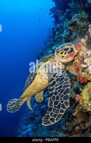 Hawksbill turtle (Eretmochelys imbricata) male chomps on soft coral. Jackson Reef, Sinai, Egypt. Strait of Tiran, Red Sea. - Stock Photo