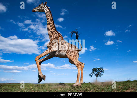 Maasai giraffe (Giraffa camelopardalis tippelskirchi) running away startled - remote camera perspective . Maasai Mara National Reserve, Kenya. - Stock Photo