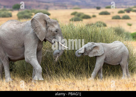 Desert dwelling African elephant (Loxodonta africana) with calf feeding on tall grass, Damaraland, Namibia - Stock Photo