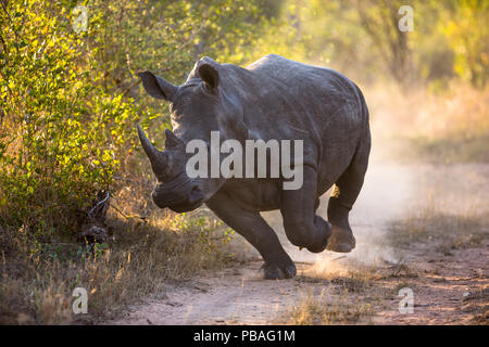 White rhinoceros (Ceratotherium simum) charging, Mala Mala Game Reserve, South Africa. - Stock Photo
