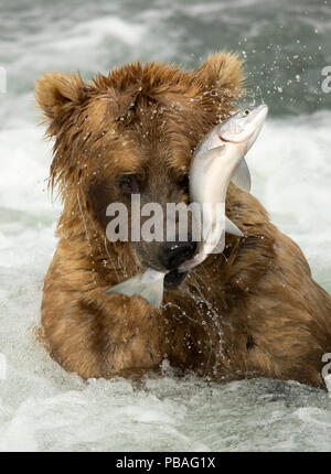 Grizzly bear (Ursus arctos) catching a fish, Brooks Falls in Katmai National Park, Alaska, USA, July - Stock Photo