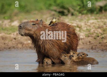 Capybara (Hydrochoerus hydrochaeris) female with young, also with Cattle tyrant (Machetornis rixosa) on her back, Pantanal, Brazil - Stock Photo