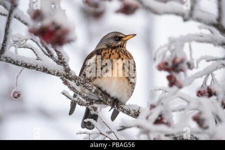 Fieldfare (Turdus pilaris) in Rowan tree with berries in winter, Jyvaskyla, Central Finland, January. Stock Photo