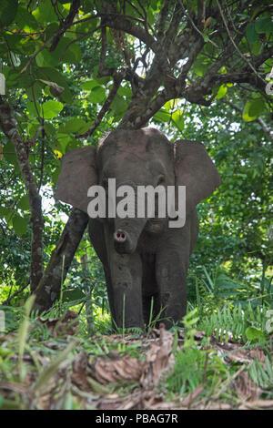 Bornean Pygmy elephant (Elephas maximus borneensis) Sabah, Borneo. - Stock Photo