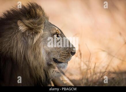 Lion (Panthera leo) profile portrait of male, South Luangwa, Zambia. October - Stock Photo