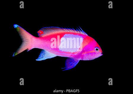 Portrait of a male Squarespot anthias (Pseudanthias pleurotaenia). Sangeang Island; Sumbawa, Indonesia. Flores Sea. - Stock Photo