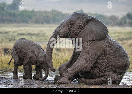 African Elephant (Loxodonta africana) mother and calf in rain, wallowing in mud. Maasai Mara, Kenya, Africa. September. - Stock Photo