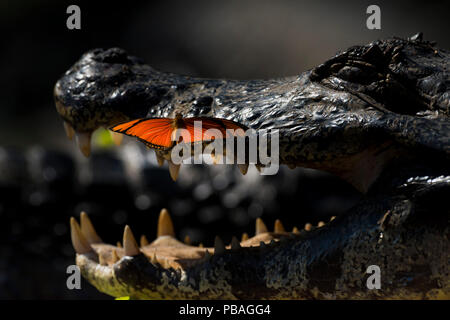 Julia heleconia (Dryas iulia) butterfly on head of Yacare caiman (Caiman yacare). Butterflies often land on caiman's head to drink the salt from its eyes.Pantanal, Brazil. - Stock Photo