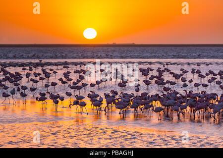 Lesser flamingos (Phoeniconaias minor) wading in saltwater lagoon at sunset, Salinas, Walvis Bay, Namibia - Stock Photo
