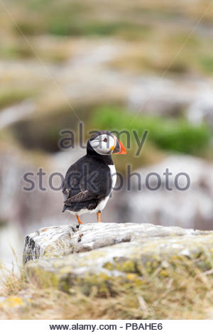 Atlantic Puffin standing on rock - Stock Photo