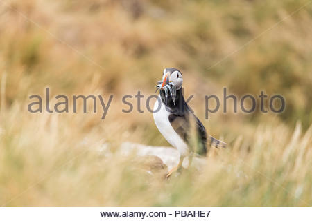 Puffin with sand eels in colourful beak standing in long grass - Stock Photo