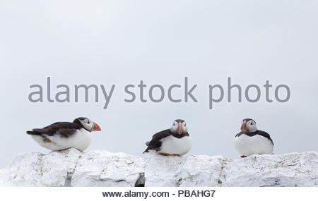 Three Puffins in breeding plumage sitting in a row on a wall - Stock Photo