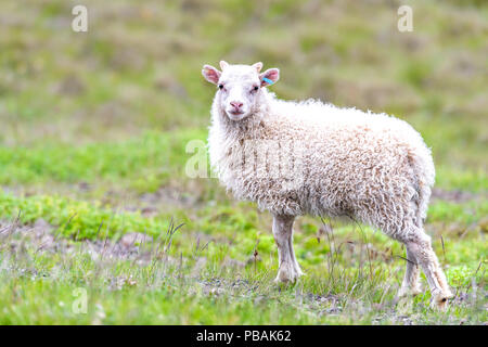 One cute adorable baby young white lamb, Icelandic sheep standing, posing on green grass pasture at farm field, hill in Iceland - Stock Photo