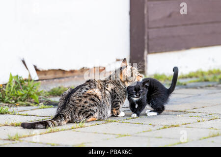 Tabby, calico mother, mom cat and small black, white kitten, kitty bonding, bunting, rubbing, grooming outdoors, outside near house, building - Stock Photo
