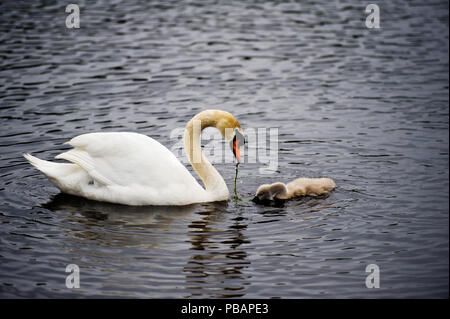 A mute swan feeding a cygnet in a lake. - Stock Photo