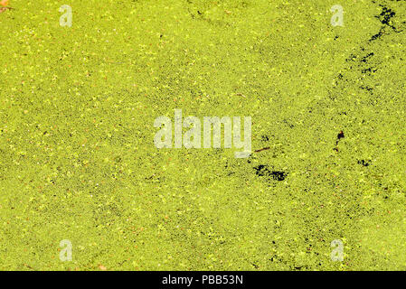 Green pond algae bloom growth floating on stagnant water - Stock Photo