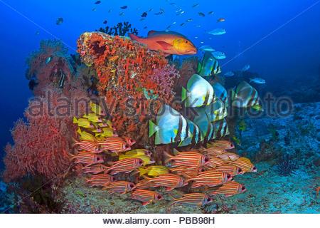 Bunte Riffzene, Langflossen-Fledermausfische (Platax teira), Rotstreifen-Husarenfische (Sargocentron rubrum), Blaustreifen-Schnapper (Lutjanus kasmira - Stock Photo