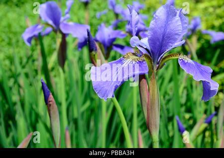 Iris Sibirica EgoSiberian iris Ego flag iris flower head - Stock Photo