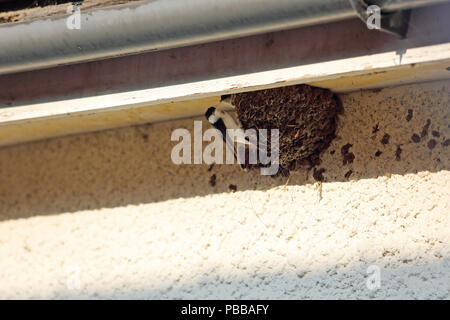 A swift feeds its young in a nest built on the wall of a house in Oxfordshire,  UK. - Stock Photo