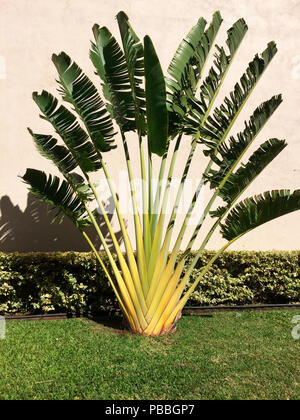 A banana leaf fan plant, commonly called Traveler's Palm, in the garden of a mansion in Maui, Hawaii, USA. - Stock Photo