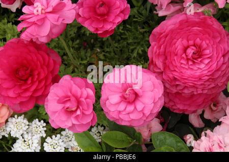 iberis-sempervirens-pink-ice