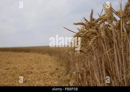 Wheat harvesting: the summer of 2018 and the crops of Pas-de-Calais are 15 days earlier than normal, a flurry of activity ensues to collect the grain - Stock Photo